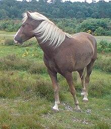 new forest pony wikipedia