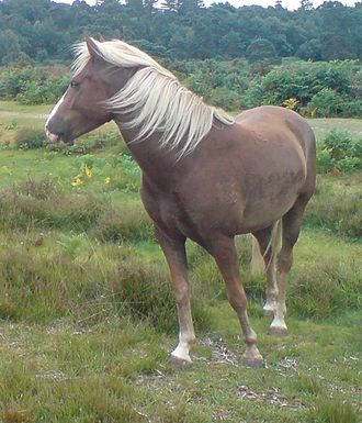 New Forest pony - New Forest pony at Spy Holms