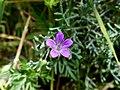 Fleur de Géranium colombin près de Chambéry (printemps 2020).JPG