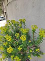 Fleur jaune &.jpg