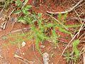 Flickr - João de Deus Medeiros - Psyllocarpus phyllocephalus (1).jpg