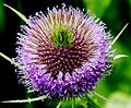 Flickr - don macauley - Teasel.jpg