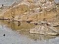 Flock of Aix galericulata in Shonai River - 8.jpg