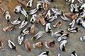 Flock of mallard ducks (Anas platyrhynchos) in winter in the city.jpg