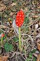 Flora della Sardegna 119 (2).JPG