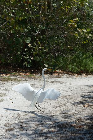 Longboat Key, Florida - White heron in the Durante Community Park on Longboat Key