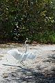 Florida white heron Durante Community Park Longboat Key.jpg