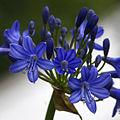 Flower, Nymans Garden (NT) (7180174548).jpg
