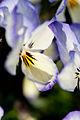 "Flower, Viola ""Coconut Swirl"" - Flickr - nekonomania.jpg"