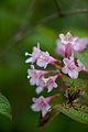 Flower, Weigela hortensis - Flickr - nekonomania.jpg