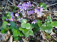 Flower hepatica.jpg