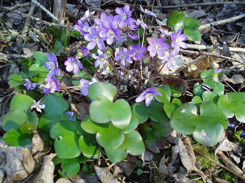 File:Flower hepatica.jpg