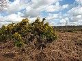 Flowering gorse - geograph.org.uk - 760477.jpg