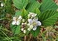 Flowers, Walbrzyskie Mountains (4).jpg