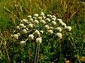 Flowers11Kokosovce1.JPG