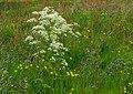 Fluitenkruid (Anthriscus sylvestris) in bloemenweide. Locatie, Natuurterrein De Famberhorst 02.jpg