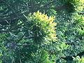 Follaje de Juniperus chinensis.JPG