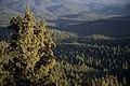 Forest's from Field Peak Trail-Malheur (23304918703).jpg