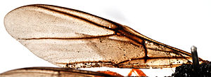 Forewing of Ibalia rufipes.jpg