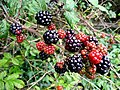 Fruits of Autumn 1 - geograph.org.uk - 965103.jpg