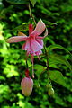 Fuchsia 'Laurie'.JPG