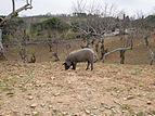 Fuenteheridos - Cerdo ibérico 02.jpg