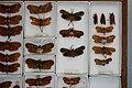 Fulgoridae Drawers - 5036093029.jpg