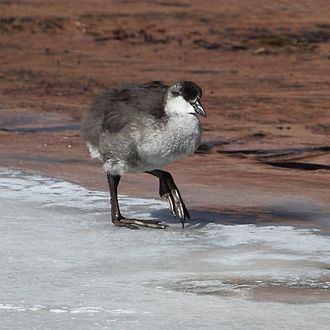 Giant coot - Image: Fulica gigantea Giant Coot (Young)