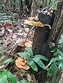Fungo orelha de pau pycnoporus sanguineus.jpg
