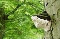 Fungus, Clandeboye Wood (1) - geograph.org.uk - 914038.jpg