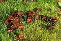Fungus, Lisburn - geograph.org.uk - 1048089.jpg