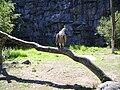 Gänsegeier Griffon Vulture.JPG