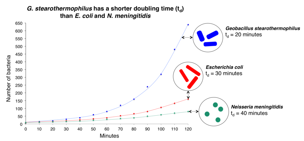 G. stearothermophilus has a shorter doubling time (td) than E. coli and N. meningitidis