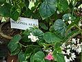 GBG Begonia alba.JPG