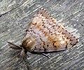 GT Gypsy Moth.jpg