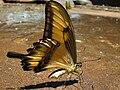 Gagea Unidentified Lepidoptera Heraclides astyalus ?.JPG