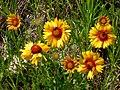 Gaillardia aristata flowers (3478770796).jpg