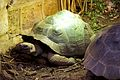 Galapagos Giant Tortoise at Chester Zoo 3.jpg