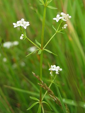 Galium palustre habitus.jpeg