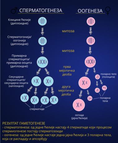 Клтини сперматогенезу 3
