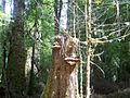 Ganoderma sp. in Callidendrous rainforest.JPG