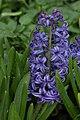Garden Hyacinth Hyacinthus orientalis 'Blue Jacket' Flower 2000px.jpg