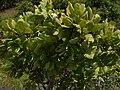 Gardenia latifolia Aiton (6256626507).jpg