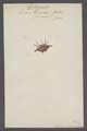 Gasteracantha - Print - Iconographia Zoologica - Special Collections University of Amsterdam - UBAINV0274 068 02 0002.tif