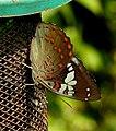 Gaudy Baron Euthalia lubentina female UN by Dr. Raju Kasambe DSCN9225 (11).jpg