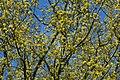 Gele kornoelje te Zwalm - 372198 - onroerenderfgoed.jpg