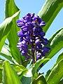 Gengibre azul (Dichorisandra thyrsiflora) - Flickr - Alejandro Bayer.jpg