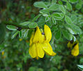 Genista triflora coll vinassa.jpg