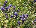 Gentiana asclepiadea Brocken Harz-20200823 (3).JPG