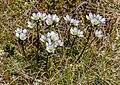 Gentianella bellidifolia, Kahurangi National Park, New Zealand.jpg
